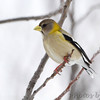 "Grosbeaks: <span style=""color:#fff; background:#333;"">Evening Grosbeak</span>  <br> Clark County <br> <a href=""/Birds/2013-Birding/Birding-2013-February/2013-02-28-Evening-Grosbeak/i-G6rZPCV"">2013-02-28</a> <br><br> My 1st Missouri photo, species #325 <br> 2013-02-28 07:24:45 <br><div class=""noshow"">  See #325 in photo gallery  <a href=""/Birds/2013-Birding/Birding-2013-February/2013-02-28-Evening-Grosbeak/i-kFNWD9T""> Here</a> </div>"