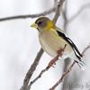 "Grosbeaks: <span style=""color:#fff; background:#333;"">Evening Grosbeak</span>  <br><span class=""showLBtitle"">                                             </span> Clark County, Missouri <br> <a href=""/Birds/2013-Birding/Birding-2013-February/2013-02-28-Evening-Grosbeak/i-G6rZPCV"">2013-02-28</a> <br> <br> My 1st Missouri photo, species #325 <br> 2013-02-28 07:24:45 <br> <div class=""noshow"">See #325 in photo gallery <a href=""/Birds/2013-Birding/Birding-2013-February/2013-02-28-Evening-Grosbeak/i-kFNWD9T"">Here</a></div>"