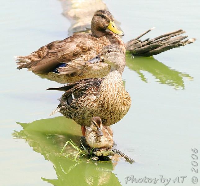 "Ducks: <span style=""color:#fff; background:#333;"">Mallard</span>  Family  <br><span class=""showLBtitle"">                                              </span> Forest Park <br> St. Louis, Missouri <br> <a href=""/Birds/2006-Birding/Birding-2006-July-August/2006-08-03-Forest-Park/i-JbsDtk7"">2006-08-03</a> <br> <br> My 1st Missouri photo, species #7 <br> 2004-02-19 15:18:31 <br> <div class=""noshow"">See #7 in photo gallery <a href=""/Birds/Waterfowl/i-SsmWMgq"">Here</a></div>"