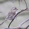 "Finch like Birds: <span style=""color:#fff; background:#333;"">Purple Finch (female)</span>  <br><span class=""showLBtitle"">                                              </span> Powder Valley Nature Center <br> St. Louis County, Missouri <br> <a href=""/Birds/2009-Birding/Birding-2009-January/2009-01-16-Powder-Valley/i-s68wwpw"">2009-01-16</a>  (<a href=""/photos/1224121100_jJBWm8P-L.jpg"" target=""_blank"">male photo</a>) <br> <br> My 1st Missouri photo, species #56 <br> 2006-03-11 14:01:28 <br> <div class=""noshow"">See #56 in photo gallery <a href=""/Birds/2006-Birding/Birding-2006-March/2006-03-11-Busch-Wildlife/i-xfKVNv5"">Here</a></div>"