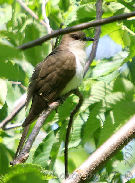 "Cuckoos: <span style=""color:#fff; background:#333;"">Black-billed Cuckoo</span>  <br> J.S. McDonnell Park <br> St. Louis County <br> <a href=""/Birds/2006-Birding/Birding-2006-May/2006-05-22-JS-McDonnell-Park/i-tWRCzn3"">2006-05-22</a> <br><br> My 1st Missouri photo, species #109 <br> 2006-05-22 11:43:57 <br><div class=""noshow""> See #109 in photo gallery  <a href=""/Birds/2006-Birding/Birding-2006-May/2006-05-22-JS-McDonnell-Park/i-tWRCzn3""> Here</a> </div>"