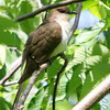 "Cuckoos: <span style=""color:#fff; background:#333;"">Black-billed Cuckoo</span>  <br><span class=""showLBtitle"">                                                                                         </span> J.S. McDonnell Park <br> St. Louis County, Missouri <br> <a href=""/Birds/2006-Birding/Birding-2006-May/2006-05-22-JS-McDonnell-Park/i-tWRCzn3"">2006-05-22</a> <br> <br> My 1st Missouri photo, species #109 <br> 2006-05-22 11:43:57 <br> <div class=""noshow"">See #109 in photo gallery <a href=""/Birds/2006-Birding/Birding-2006-May/2006-05-22-JS-McDonnell-Park/i-tWRCzn3"">Here</a></div>"