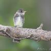 "Flycatchers: <span style=""color:#fff; background:#333;"">Olive-sided Flycatcher</span>  <br> Bridgeton Riverwoods Park and Trail <br> <a href=""/Birds/2008-Birding/Birding-2008-September/2008-09-13-Bridgeton-Trail/i-vZxKwDt"">2008-09-13</a> <br><br> My 1st Missouri photo, species #137 <br>  2008-09-09 11:20:26 <br><div class=""noshow"">  See #137 in photo gallery  <a href=""/Birds/2008-Birding/Birding-2008-September/2008-09-09-Bridgeton-Trail/i-ZKhDWhK""> Here</a> </div>"