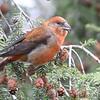 "Finch like Birds: <span style=""color:#fff; background:#333;"">Red Crossbill</span> (male)  <br><span class=""showLBtitle"">                                              </span> Kaust Park <br> St. Louis County, Missouri <br> <a href=""/Birds/2012-Birding/Birding-2012-November/2012-11-26-Crossbills-Faust-Pk/i-9b5Rkhx"">2012-11-26</a>  (<a href=""/photos/2239176120_fSW38sb-L.jpg"" target=""_blank"">female photo</a>)<br> <br> My 1st Missouri photo, species #155 <br> 2006-12-18 13:30:07 <br> <div class=""noshow"">See #155 in photo gallery <a href=""/Birds/2006-Birding/Birding-2006-December/2006-12-18-Busch-Wildlife/i-MXTdwLC"">Here</a></div>"