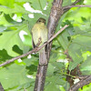 """Flycatchers: <span style=""""color:#fff; background:#333;"""">Yellow-bellied Flycatcher</span>  <span class=""""showLBtitle"""">                                                                                         </span> <br> Tower Grove park <br> St. Louis, Missouri <br> <a href=""""/Birds/2009-Birding/Birding-2009-May/2009-05-14-Tower-Grove-Park/i-kgn384Q"""">2009-05-14</a> <br> <br> My 1st Missouri photo, species #329 <br> 2009-05-14 08:55:44 <br> <div class=""""noshow"""">See #329 in photo gallery  <a href=""""/Birds/2009-Birding/Birding-2009-May/2009-05-14-Tower-Grove-Park/i-kgn384Q"""">Here</a></div>"""