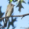"Flycatchers: <span style=""color:#fff; background:#333;"">Eastern Wood-Peewee</span>  <br><span class=""showLBtitle"">                                             </span> City of Bridgeton <br> St. Louis County, Missouri <br> <a href=""/Birds/2014-Birding/Birding-2014-September/2014-09-Yardbirds/i-B8NBrZm"">2014-09-23</a> <br> <br> My 1st Missouri photo, species #178 <br> 2007-07-11 10:22:29 <br> <div class=""noshow"">See #178 in photo gallery <a href=""/Birds/2007-Birding/Birding-2007-June-July/2007-07-11-Lost-Valley-Trail/i-GDGXMDk"">Here</a></div>"