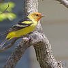 "Forest Edge Birds: Tanagers: <span style=""color:#fff; background:#333;"">Western Tanager</span>   <br> Robin Hill Lane, St. Louis County <br> <a href=""/Birds/2019-Birding/Birding-2019-April/2019-04-15-Western-Tanager/i-MxScXKv"">2019-04-15</a> <br><br> My 1st Missouri photo, species #349 <br>  2019-04-15 10:19:21 <br><div class=""noshow"">  See #349 in photo gallery  <a href=""/Birds/2019-Birding/Birding-2019-April/2019-04-15-Western-Tanager/i-N4VqG4h""> Here</a> </div>"