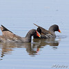 """Ducks: <span style=""""color:#fff; background:#333;"""">Common Gallinule</span>  <br>(previous Common Moorhen)  <br><span class=""""showLBtitle"""">                                              </span> Nesting back of pool 1 <br> Columbia Bottom Conservation Area <br> St. Louis County, Missouri <br> <a href=""""/Birds/2008-Birding/Birding-2008-June/2008-06-07-09-10-Multi-areas/i-5X8dPsb"""">2008-06-10</a> <br> <br> My 1st Missouri photo, species #192 <br> 2008-06-10 15:09:02 <br> <div class=""""noshow"""">See #192 in photo gallery <a href=""""/Birds/2008-Birding/Birding-2008-June/2008-06-07-09-10-Multi-areas/i-x25j4DS"""">Here</a></div>"""