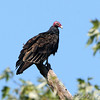 "Birds of Prey: Vultures: <span style=""color:#fff; background:#333;"">Turkey Vulture</span>  <br> Lost Valley Trail <br> Weldon Spring Conservation Area <br> <a href=""/Birds/2008-Birding/Birding-2008-September/2008-09-18-Lost-Valley-Trail/i-nFjRKDc"">2008-09-18</a> <br><br>  My 1st Missouri photo, species #18 <br> 2004-11-06 08:07:00 <br><div class=""noshow"">  See #18 in photo gallery  <a href=""/MissouriParks/Ozarks-2004/i-pjHPSrT""> Here</a> </div>"