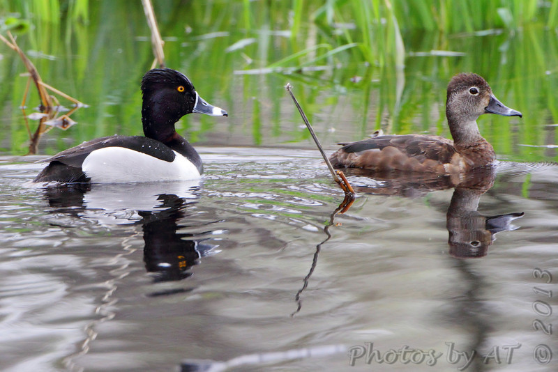 """Ducks: <span style=""""color:#fff; background:#333;"""">Ring-necked Ducks</span>   <br><span class=""""showLBtitle"""">                                              </span> Male and Female pair <br> Squaw Creek Natural Wildlife Refuge <br> Holt County, Missouri <br> <a href=""""/Birds/2013-Birding/Birding-2013-May/2013-05-05-Squaw-Creek-NWR/i-8XdQBmN"""">2013-05-05</a> <br> <br> My 1st Missouri photo, species #145 <br> 2006-11-13 16:37:26 <br> <div class=""""noshow"""">See #145 in photo gallery <a href=""""/Birds/2006-Birding/Birding-2006-November/2006-11-13-Riverlands/i-2GRr7Bc"""">Here</a></div>"""