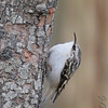"Forest Birds: <span style=""color:#fff; background:#333;"">Brown Creeper</span>   <br><span class=""showLBtitle"">                                                                                         </span> City of Bridgeton <br> St. Louis County, Missouri <br> <a href=""/Birds/2006-Birding/Birding-2006-December/2006-12-25-Birding-St-Charles/i-TVKNdHn"">2006-12-25</a> <br> <br> My 1st Missouri photo, species #120 <br>  2006-06-09 17:05:12 <div class=""noshow""> See #120 in photo gallery <a href=""/Birds/2006-Birding/Birding-2006-June/2006-06-09-Busch-Wildlife-Area/i-PfZmPLM"">Here</a></div>"