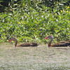 "Ducks: <span style=""color:#fff; background:#333;"">Black-bellied Whistling-Ducks</span>  <br><span class=""showLBtitle"">                                                                                         </span> Private lake next to Otter Slough <br> State Wildlife Management Area <br> Stoddard County, Missouri <br> <a href=""/Birds/2008-Birding/Birding-2008-August/2008-08-19-Maintz-Otter-Slough/i-QgRnNm4"">2008-08-19</a> <br> <br> My 1st Missouri photo, species #207 <br> 2008-08-19 11:12:39 <br> <div class=""noshow"">See #207 in photo gallery <a href=""/Birds/2008-Birding/Birding-2008-August/2008-08-19-Maintz-Otter-Slough/i-CSkxS6H"">Here</a></div>"