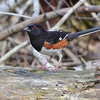 """Forest Edge Birds: Towhees: <span style=""""color:#fff; background:#333;"""">Eastern Towhee</span>  <br><span class=""""showLBtitle"""">                                             </span> Fallen Oak Trail <br> Busch Wildlife Conservation Area<br> St. Charles County, Missouri <br> <a href=""""/Birds/2011-Birding/Birding-2011-March/2011-03-21-Busch-Creve-Coeur/i-mM2NKSB"""">2011-03-21</a> <br> <br> My 1st Missouri photo, species #53 <br> 2006-03-01 10:18:43 <br> <div class=""""noshow"""">See #53 in photo gallery <a href=""""/Birds/2006-Birding/Birding-2006-March/2006-03-01-Busch-Wildlife/i-8H2z6P9"""">Here</a></div>"""