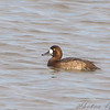 """Ducks: <span style=""""color:#fff; background:#333;"""">Greater Scaup</span> (female)  <br><span class=""""showLBtitle"""">                                              </span> Ellis Bay <br> Riverlands Migratory Bird Sanctuary <br> St. Charles County, Missouri <br> <a href=""""/Birds/2009-Birding/Birding-2009-February/2009-02-12-Riverlands/i-3rMbwsf"""">2009-02-12</a> <br> <br> My 1st Missouri photo, species #231 <br> 2009-02-12 15:14:29 <br> <div class=""""noshow"""">See #231 in photo gallery <a href=""""/Birds/2009-Birding/Birding-2009-February/2009-02-12-Riverlands/i-3rMbwsf"""">Here</a></div>"""