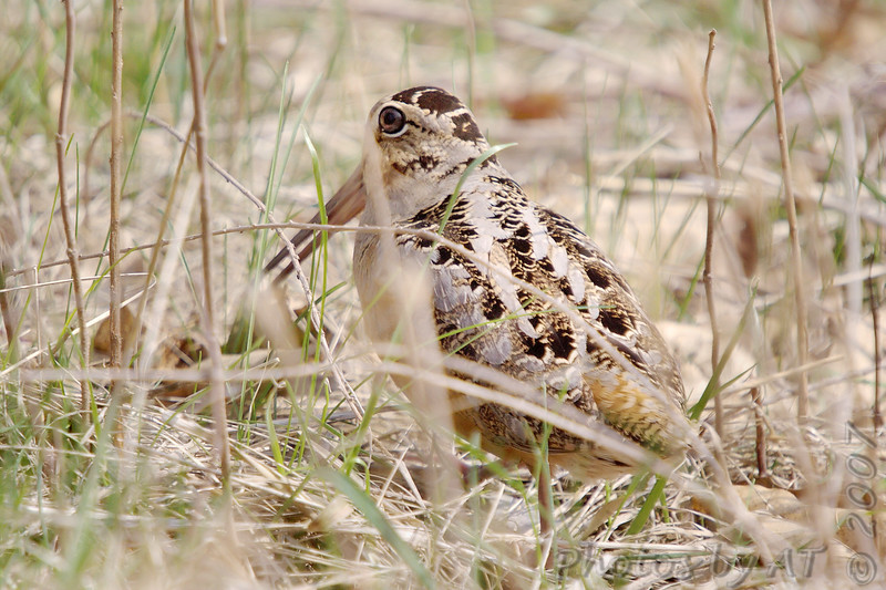 "Gamebirds: <span style=""color:#fff; background:#333;"">American Woodcock</span>   <br> Busch Wildlife Consv Area <br> <a href=""/Birds/2007-Birding/Birding-2007-March/2007-03-24-Busch-Wildlife/i-gzmSnFs"">2007-03-24</a> <br><br> My 1st Missouri photo, species #162 <br>  2007-03-24 11:21:23 <br><div class=""noshow"">  See #162 in photo gallery  <a href=""/Birds/2007-Birding/Birding-2007-March/2007-03-24-Busch-Wildlife/i-fRWkXj5""> Here</a> </div>"