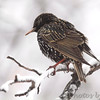 "Blackbirds: <span style=""color:#fff; background:#333;"">European Starling</span>  <br> Bridgeton, MO <br> <a href=""/Birds/2011-Birding/Birding-2011-February/2011-02-Yardbirds/i-wL6Nmrc"">2011-02-Yardbirds</a> <br><br> My 1st Missouri photo, species #6 <br> 2004-02-01 12:46:09 <br><div class=""noshow""> See #6 in photo gallery  <a href=""/Birds/Black-Birds/i-KJB6f32""> Here</a> </div>"