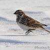 "Grassy Field Birds: <span style=""color:#fff; background:#333;"">Lapland Longspur</span>  <br><span class=""showLBtitle"">                                                                                         </span> Columbia Bottom Conservation Area <br> St. Louis County, Missouri <br> <a href=""/Birds/2010-Birding/Birding-2010-January/2010-01-11-Columbia-Bottom-CA/i-M87fBWs"">2010-01-11</a> <br> <br> My 1st Missouri photo, species #181 <br>  2007-12-19 16:16:04 <br> <div class=""noshow"">See #181 in photo gallery  <a href=""/Birds/2007-Birding/Birding-2007-December/2007-12-19-RMBS-Confluence/i-cgrvrcJ"">Here</a></div>"
