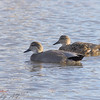 "Ducks: <span style=""color:#fff; background:#333;"">Gadwall</span>  <br><span class=""showLBtitle"">                                                                                                  </span> Winghaven Boardwalk <br> St. Charles County, Missouri <br> <a href=""/Birds/2007-Birding/Birding-2007-Aug-Sept-Oct-Nov/2007-11-November-Misc/i-6LBRZqg"">2007-11-16</a> <br> <br> My 1st Missouri photo, species #70 <br> 2006-04-05 10:20:12 <br> <div class=""noshow"">See #70 in photo gallery <a href=""/Birds/2006-Birding/Birding-2006-April/2006-04-05-Busch-Wildlife/i-svdxDdb"">Here</a></div>"