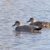 "Ducks: <span style=""color:#fff; background:#333;"">Gadwall</span>  <br><span class=""showLBtitle"">                                                  </span> Winghaven Boardwalk <br> St. Charles County, Missouri <br> <a href=""/Birds/2007-Birding/Birding-2007-Aug-Sept-Oct-Nov/2007-11-November-Misc/i-6LBRZqg"">2007-11-16</a> <br> <br> My 1st Missouri photo, species #70 <br> 2006-04-05 10:20:12 <br> <div class=""noshow"">See #70 in photo gallery <a href=""/Birds/2006-Birding/Birding-2006-April/2006-04-05-Busch-Wildlife/i-svdxDdb"">Here</a></div>"