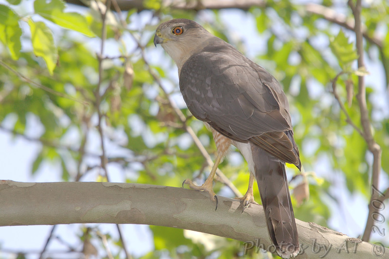 "Birds of Prey: Accipiters: <span style=""color:#fff; background:#333;"">Cooper's Hawk</span> <br><span class=""showLBtitle"">                                                                                         </span> Tower Grove Park <br> St. Louis, Missouri <br> <a href=""/Birds/2007-Birding/Birding-2007-May/2007-05-08-Kenedy-Forest-and/i-4KZNHZB"">2007-05-08</a><br> <br> My 1st Missouri photo, species #158 <br> 2007-01-03 16:31:33 <br> <div class=""noshow""> See #158 in photo gallery <a href=""/Birds/2007-Birding/Birding-2007-Jan-Feb/2007-01-January-Riverlands/i-L8pmD7d"">Here</a></div>"