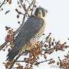 "Birds of Prey: Falcons: <span style=""color:#fff; background:#333;"">Peregrine Falcon</span>  <br> Intersection of Red School and <br> Cora Island Roads just south of <br> Riverlands Migratory Bird Sanctuary <br> <a href=""/Birds/2008-Birding/Birding-2008-December/2008-12-18-Riverlands/i-mkJfJHt"">2008-12-18</a> <br><br>  My 1st Missouri photo, species #152 <br> 2006-12-09 16:01:00 <br><div class=""noshow""> See #152 in photo gallery  <a href=""/Birds/2006-Birding/Birding-2006-December/2006-12-09-Riverlands/i-8TDqjLm""> Here</a> </div>"