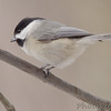 "Forest Birds: <span style=""color:#fff; background:#333;"">Carolina Chickadee</span>  <br><span class=""showLBtitle"">                                                                                         </span> Busch Wildlife Conservation Area <br> St. Charles County, Missouri <br> <a href=""/Birds/2007-Birding/Birding-2007-Jan-Feb/2007-02-Febuary-RMBS-Columbia/i-nt2FKj3"">2007-02-19</a> <br> <br> My 1st Missouri photo, species #20 <br>  2005-03-12 14:03:11 <br> <div class=""noshow"">See #20 in photo gallery <a href=""/Birds/Chickadee/i-MLTSMwm"">Here</a></div>"