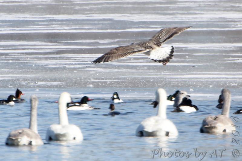 "Gulls: <span style=""color:#fff; background:#333; background:#333;"">Great Black-backed Gull </span>  (first-cycle) <br><span class=""showLBtitle"">                                             </span> Ellis Bay behind Audubon Center <br>  Riverlands Migratory Bird Sanctuary <br> St. Charles County, Missouri <br> <a href=""/Birds/2014-Birding/Birding-2014-February/2014-02-03-RMBS/i-6wxWRWz"">2014-02-03</a> <br> <br> My 1st Missouri photo, species #331 <br> 2014-02-03 10:34:12 <br> <div class=""noshow"">See #331 in photo gallery <a href=""/Birds/2014-Birding/Birding-2014-February/2014-02-03-RMBS/i-6wxWRWz"">Here</a></div>"