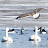 "Gulls: <span style=""color:#fff; background:#333; background:#333;"">Great Blacked-backed Gull </span>  (first-cycle) <br> Ellis Bay behind Audubon Center <br>  Riverlands Migratory Bird Sanctuary <br> <a href=""/Birds/2014-Birding/Birding-2014-February/2014-02-03-RMBS/i-6wxWRWz"">2014-02-03</a> <br><br> My 1st Missouri photo, species #331 <br> 2014-02-03 10:34:12 <br><div class=""noshow"">  See #331 in photo gallery  <a href=""/Birds/2014-Birding/Birding-2014-February/2014-02-03-RMBS/i-6wxWRWz""> Here</a> </div>"