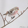 "Finch like Birds: <span style=""color:#fff; background:#333;"">Common Redpoll</span>  <br> Ferguson, MO <br> <a href=""/Birds/2009-Birding/Birding-2009-January/2009-01-26-Ferguson/i-XLJfCFz"">2009-01-26 Ferguson</a> <br><br> My 1st Missouri photo, species #229 <br> 2009-01-24 09:00:19 <br><div class=""noshow"">  See #229 in photo gallery  <a href=""/Birds/2009-Birding/Birding-2009-January/2009-01-24-KC-and-St-Joseph/i-Dqb3RFG""> Here</a> </div>"