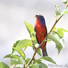 "Buntings: <span style=""color:#fff; background:#333;"">Painted Bunting</span> (Male)  <br> Jefferson City <br> Behind Steak and Shake <br> <a href=""/Birds/2009-Birding/Birding-2009-June/2009-06-06-Jeff-City-Eagle/i-LxzwQwD"">2009-06-06</a> <br><br> My 1st Missouri photo, species #105 <br> 2007-05-11 13:41:38 <br><div class=""noshow"">  See #105 in photo gallery  <a href=""/Birds/2007-Birding/Birding-2007-May/2007-05-11-Lost-Valley-Trail/i-TSCtKLH""> Here</a> </div>"