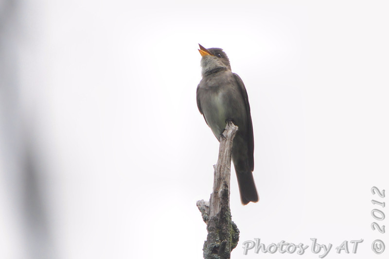 """Flycatchers: <span style=""""color:#fff; background:#333;"""">Western Wood-Pewee</span>  <br><span class=""""showLBtitle"""">                                             </span> Lake Lotawana <br> Jackson County, Missouri <br> <a href=""""/Birds/2012-Birding/Birding-2012-June/2012-06-11-Western-Wood-Pewee/i-x3BFRd3"""">2012-06-11</a> <br> <br> My 1st Missouri photo, species #316 <br> <span style=""""color:#fff"""">*** 1st Missouri record ***</span> <br> 2012-06-11 10:45:34 <br> <div class=""""noshow"""">See #316 in photo gallery  <a href=""""/Birds/2012-Birding/Birding-2012-June/2012-06-11-Western-Wood-Pewee/i-9T5gZBD"""">Here</a></div>"""