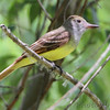 """Flycatchers: <span style=""""color:#fff; background:#333;"""">Great Crested Flycatcher</span>   <br><span class=""""showLBtitle"""">                                             </span> City of Bridgeton <br> Columbia Bottom Conservation Area <br> St. Louis County, Missouri <br> <a href=""""/Birds/2012-Birding/Birding-2012-May/2012-05-30-Columbia-Bottom-CA/i-CPxQXtv"""">2012-05-30</a> <br> <br> My 1st Missouri photo, species #114 <br>  2006-05-29 10:39:00 <br> <div class=""""noshow"""">See #114 in photo gallery <a href=""""/Birds/2006-Birding/Birding-2006-May/2006-05-29-St-Stanislaus/i-g87qZXW"""">Here</a></div>"""