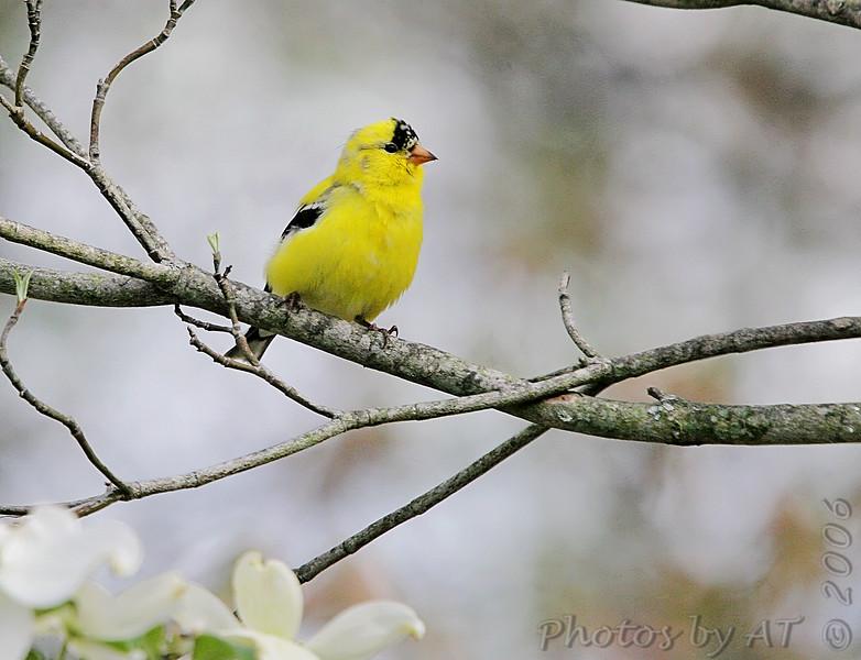 "Finch like Birds: <span style=""color:#fff; background:#333;"">American Goldfinch</span>  <br> Wentzville, Mo. <br> <a href=""/Birds/2006-Birding/Birding-2006-April/2006-04-16-Birds-at-Donnas/i-d7zhzbk"">2006-04-16 Birds at Donna's</a> <br><br> My 1st Missouri photo, species #19 <br> 2005-02-06 14:46:08 <br><div class=""noshow"">  See #19 in photo gallery  <a href=""/Birds/Goldfinches/i-9MqFGhb""> Here</a> </div>"