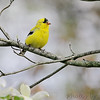 "Finch like Birds: <span style=""color:#fff; background:#333;"">American Goldfinch</span>  <br> Wentzville, Mo. <br> <a href=""/Birds/2006-Birding/Birding-2006-April/2006-04-16-Birds-at-Donnas/i-d7zhzbk"">2006-04-16 Birds at Donna's</a> <br><br> My 1st Missouri photo, species #19 <br> 2005-02-06 14:46:08 <br><div class=""noshow"">  See #19 in photo gallery  <a href=""/Birds/Goldfinches/i-9MqFGhb""> Here</a> </div>"