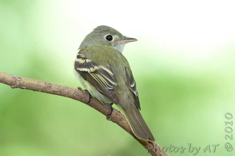 "Flycatchers: <span style=""color:#fff; background:#333;"">Acadian Flycatcher</span>  <br> Tower Grove Park  <br> 2010-05-19 <br><br> My 1st Missouri photo, species #137 <br>  2010-05-19 13:14:06 <br><div class=""noshow"">  See #137 in photo gallery  <a href=""/Birds/2010-Birding/Birding-2010-May/2010-05-19-Tower-Grove-Park/i-chNLmGx""> Here</a> </div>"