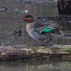 """Ducks: <span style=""""color:#fff; background:#333;"""">Green-winged Teal</span>  <br><span class=""""showLBtitle"""">                                              </span> Eagle Bluffs Conservation Area <br> Boone County, Missouri <br> <a href=""""/Birds/2009-Birding/Birding-2009-November/2009-11-14-Smithville-lake/i-wKt8RkZ"""">2009-11-14</a> <br> <br> My 1st Missouri photo, species #185 <br> 2006-11-22 17:00:09 <br> <div class=""""noshow""""> See #185 in photo gallery <a href=""""/Birds/2006-Birding/Birding-2006-November/2006-11-22-Riverlands/i-PH8FQ5d"""">Here</a></div>"""