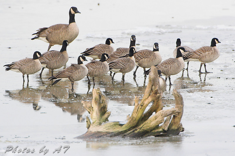 """Geese: <span style=""""color:#fff; background:#333;"""">Cackling Geese</span>  <br>and Canada Goose <br> Riverlands Migratory Bird Sanctuary <br> <a href=""""/Birds/2008-Birding/Birding-2008-Jan-Feb/2008-01-18-Riverlands/i-QMr6Bqh"""">2008-01-18</a> <br><br> My 1st Missouri photo, species #183 <br>  2008-01-18 16:54:47 <br><div class=""""noshow"""">  See #183 in photo gallery  <a href=""""/Birds/2008-Birding/Birding-2008-Jan-Feb/2008-01-18-Riverlands/i-rdbXfRD""""> Here</a> </div>"""