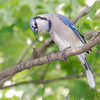 "Forest Edge Birds: <span style=""color:#fff; background:#333;"">Blue Jay</span>  <br><span class=""showLBtitle"">                                                                                         </span> City of Bridgeton <br> St. Louis County, Missouri <br> <a href=""/Birds/2007-Birding/Birding-2007-May/2007-05-Yardbirds/i-qfC4hPm"">2007-05-10</a> <br> <br> My 1st Missouri photo, species #15 <br>  2004-07-04 18:20:28 <br> <div class=""noshow"">See #15 in photo gallery <a href=""/Birds/Bluejays/i-SD9LRCq"">Here</a></div>"