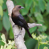 "Blackbirds: <span style=""color:#fff; background:#333;"">Brown-headed Cowbird</span>  <br> Katy Trail Parking <br> Weldon Springs CA  <br> <a href=""/Birds/2007-Birding/Birding-2007-May/2007-05-11-Lost-Valley-Trail/i-cZ6w2SG"">2007-05-11</a> <br><br> My 1st Missouri photo, species #16 <br> 2004-07-06 16:18:15 <br><div class=""noshow""> See #16 in photo gallery  <a href=""/Birds/Black-Birds/i-n2gr9Fp""> Here</a> </div>"