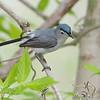 "Flycatchers: <span style=""color:#fff; background:#333;"">Blue-gray Gnatcatcher </span> <br><span class=""showLBtitle"">                                              </span> Creve Couer Marsh LCC <br> St. Louis County, Missouri <br> <a href=""/Birds/2008-Birding/Birding-2008-April/2008-04-23-Creve-Coeur-Marsh/i-sndfKHs"">2008-04-23</a> <br> <br> My 1st Missouri photo, species #73 <br>   2006-04-09 15:36:33  <br> <div class=""noshow"">See #73 in photo gallery <a href=""/Birds/2006-Birding/Birding-2006-April/2006-04-09-Creve-Coeur-Marsh/i-x7BqC4q"">Here</a></div>"