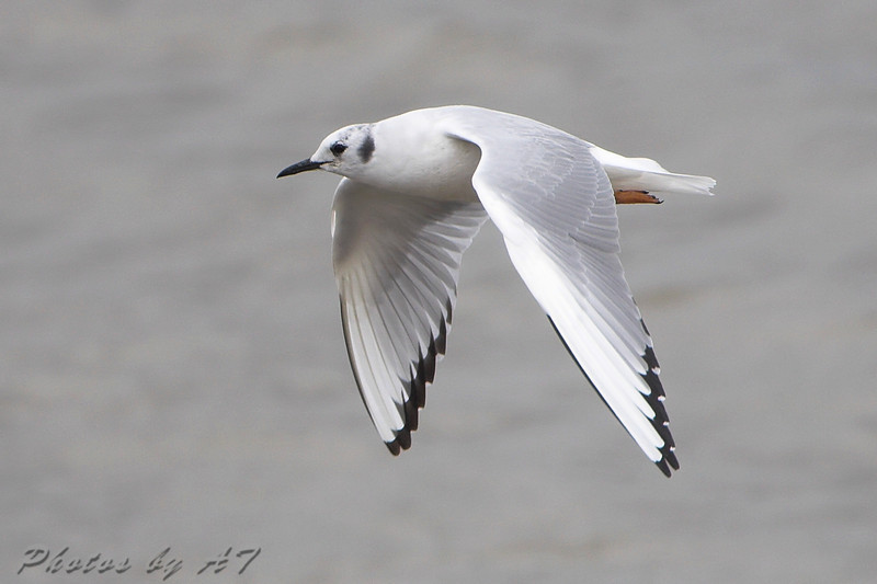"""Gulls: <span style=""""color:#fff; background:#333;"""">Bonaparte's Gull</span>   <br> Riverlands Migratory Bird Sanctuary <br> <a href=""""/Birds/2008-Birding/Birding-2008-April/2008-04-04-RMBS-CBCA/i-Rbz9gNX"""">2008-04-04</a> <br><br> My 1st Missouri photo, species #147 <br> 2006-11-16 16:14:14 <br><div class=""""noshow"""">  See #147 in photo gallery  <a href=""""/Birds/2006-Birding/Birding-2006-November/2006-11-161718-Creve-Coeur/i-Lpbdcsb""""> Here</a> </div>"""