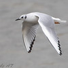 "Gulls: <span style=""color:#fff; background:#333;"">Bonaparte's Gull</span>   <br> Riverlands Migratory Bird Sanctuary <br> <a href=""/Birds/2008-Birding/Birding-2008-April/2008-04-04-RMBS-CBCA/i-Rbz9gNX"">2008-04-04</a> <br><br> My 1st Missouri photo, species #147 <br> 2006-11-16 16:14:14 <br><div class=""noshow"">  See #147 in photo gallery  <a href=""/Birds/2006-Birding/Birding-2006-November/2006-11-161718-Creve-Coeur/i-Lpbdcsb""> Here</a> </div>"