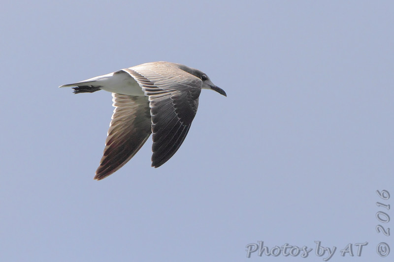 """Gulls: <span style=""""color:#fff; background:#333;"""">Laughing Gull (Juvenile)</span>  <br> Flyover Teal Pond <br> Riverlands Migratory Bird Sanctuary <br> <a href=""""/Birds/2016-Birding/Birding-2016-August/2016-08-21-RMBS/i-TQgr9Zx"""">2016-08-21</a> <br><br> My 1st Missouri photo, species #224 <br>  2009-01-02 16:44:56  <br><div class=""""noshow"""">  See #224 in photo gallery  <a href=""""/Birds/2009-Birding/Birding-2009-January/2009-01-02-Riverlands/i-PK7WmW3""""> Here</a> </div>"""