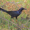 "Blackbirds: <span style=""color:#fff; background:#333;"">Great-tailed Grackle</span> (Male)  <br> St. Charles County <br> Seeburger & Dwyer Roads <br> <a href=""/Birds/2006-Birding/Birding-2006-November/2006-11-09-Seeburger-and-Dwyer/i-GsMjzSJ"">2006-11-09</a> <br><br> My 1st Missouri photo, species #142 <br> 2006-11-09 12:12:43 <br><div class=""noshow""> See #142 in photo gallery  <a href=""/Birds/2006-Birding/Birding-2006-November/2006-11-09-Seeburger-and-Dwyer/i-GsMjzSJ""> Here</a> </div>"