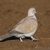 "Doves: <span style=""color:#fff; background:#333;"">Eurasian Collared-Dove</span>  <br> St. Joseph Stock Yards <br> <a href=""/Birds/2009-Birding/Birding-2009-January/2009-01-24-KC-and-St-Joseph/i-XhngwDR"">2009-01-24</a> <br><br> My 1st Missouri photo, species #228 <br> 2009-01-24 15:29:07 <br><div class=""noshow"">  See #228 in photo gallery  <a href=""/Birds/2009-Birding/Birding-2009-January/2009-01-24-KC-and-St-Joseph/i-LjGLWfk""> Here</a> </div>"