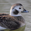 "Ducks: <span style=""color:#fff; background:#333;"">Long-tailed Duck</span>  <br><span class=""showLBtitle"">                                                                                          </span> Creve Coeur lake <br> St. Louis County, Missouri <br> <a href=""/Birds/2014-Birding/Birding-2014-March/2014-03-10-Creve-Couer-Lake/i-stZGJ6x"">2014-03-10</a> <br> <br> My 1st Missouri photo, species #227 <br> 2009-01-12 13:12:00 <br> <div class=""noshow"">See #227 in photo gallery <a href=""/Birds/2009-Birding/Birding-2009-January/2009-01-12-Creve-Coeur-Lake/i-5QsCFtL"">Here</a></div>"