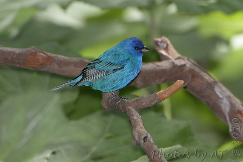 """Buntings: <span style=""""color:#fff; background:#333;"""">Indigo Bunting</span>  <br><span class=""""showLBtitle"""">                                             </span> Tower Grove Park  <br> St. Louis, Missouri <br> <a href=""""/Birds/2010-Birding/Birding-2010-May/2010-05-09-Lincoln-Shields-TGP/i-jV7dxxM"""">2010-05-09</a> <br> <br> My 1st Missouri photo, species #93 <br> 2006-05-05 09:55:38 <br> <div class=""""noshow"""">See #93 in photo gallery <a href=""""/Birds/2006-Birding/Birding-2006-May/2006-05-05-Creve-Coeur-Lake/i-47jCM6M"""">Here</a></div>"""