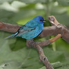 "Buntings: <span style=""color:#fff; background:#333;"">Indigo Bunting</span>  <br><span class=""showLBtitle"">                                                                                         </span> Tower Grove Park  <br> St. Louis, Missouri <br> <a href=""/Birds/2010-Birding/Birding-2010-May/2010-05-09-Lincoln-Shields-TGP/i-jV7dxxM"">2010-05-09</a> <br> <br> My 1st Missouri photo, species #93 <br> 2006-05-05 09:55:38 <br> <div class=""noshow"">See #93 in photo gallery <a href=""/Birds/2006-Birding/Birding-2006-May/2006-05-05-Creve-Coeur-Lake/i-47jCM6M"">Here</a></div>"