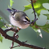 "Forest Birds: Kinglets: <span style=""color:#fff; background:#333;"">Golden-crowned Kinglet</span>  <br><span class=""showLBtitle"">                                                                                         </span> City of Bridgeton <br> St. Louis County, Missouri <br> <a href=""/Birds/2010-Birding/Birding-2010-October/2010-10-Yardbirds/i-S8MwD3Q"">2010-10-14</a> <br> <br> My 1st Missouri photo, species #138 <br> 2006-10-09 12:46:42 <br> <div class=""noshow"">See #138 in photo gallery <a href=""/Birds/2006-Birding/Birding-2006-October/2006-10-09-Unger-County-Park/i-7gWzdBQ"">Here</a></div>"