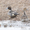 "Ducks: <span style=""color:#fff; background:#333;"">Northern Pintail</span>   <br> Columbia Bottom Conservation Area  <br> <a href=""/Birds/2009-Birding/Birding-2009-February/2009-02-28-RMBS-and-Columbia/i-s8vkmPm/i-vmDW8q3"">2009-02-28</a> <br><br> My 1st Missouri photo, species #218 <br> 2008-11-03 11:10:31 <br><div class=""noshow""> See #218 in photo gallery  <a href=""/Birds/2008-Birding/Birding-2008-November/2008-11-03-Clarence-Cannon/i-9zx8XhF""> Here</a> </div>"